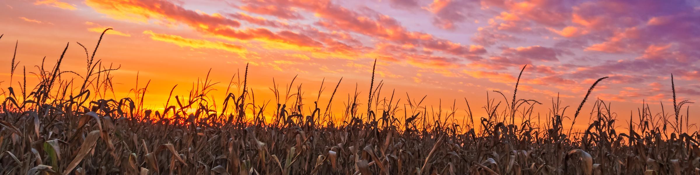 Fall Corn Subpage