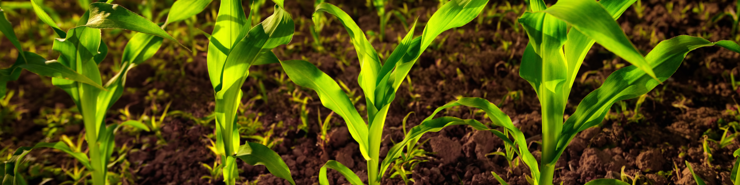 Corn Spring Subpage